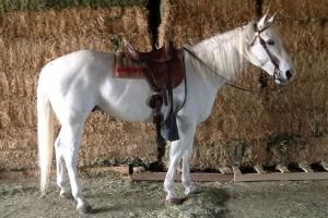 livestock_white_horse